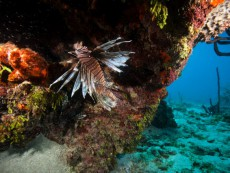 Lionfish in coral reef in Dominican Republic