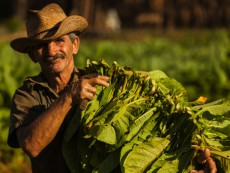 Tobacco plantation in the countryside, tobacco harvesting