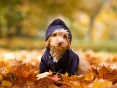 Austria, Dog sitting on autumn leaf