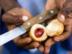 Unguja island (Zanzibar), Abdul's Spices Garden in its Banana Farm, opens a nutmeg